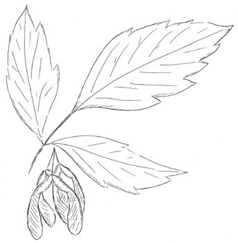 Boxelder Drawing