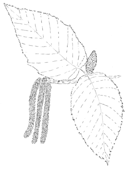 Sweet Birch Drawing