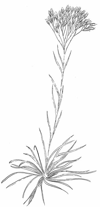 Nuttall's Rayless Goldenrod Drawing