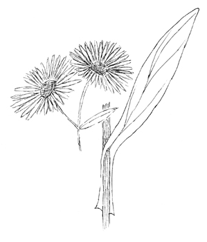 Winged False Aster Drawing