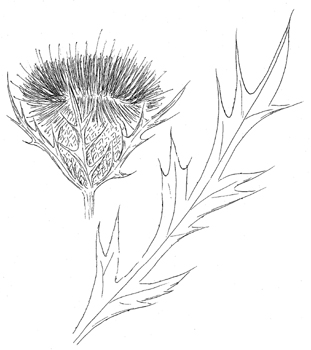 Pasture Thistle Drawing