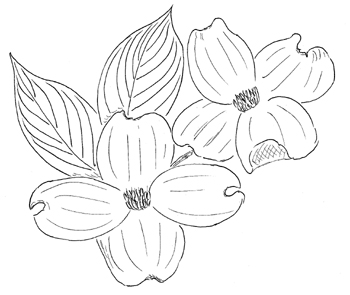 Flowering Dogwood Drawing