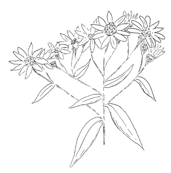 Flat-topped White Aster Drawing