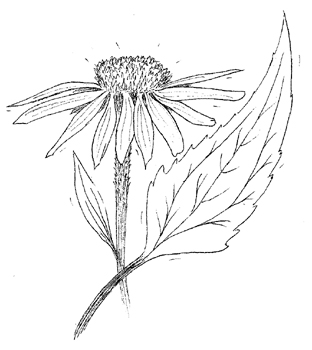 Eastern Purple Coneflower Drawing
