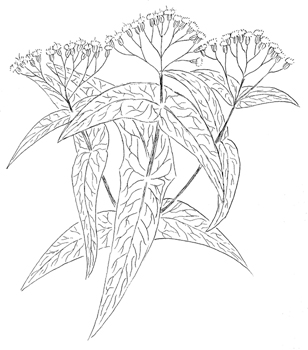 Common Boneset Drawing