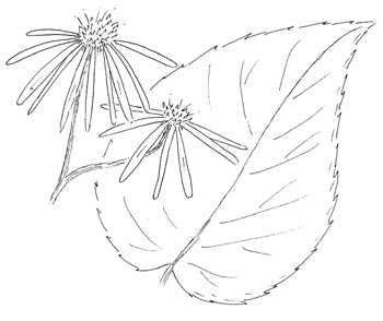 White Wood Aster Drawing