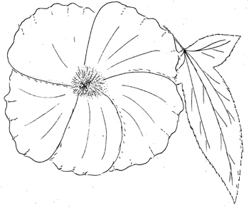 Halberd-leaved Rose-Mallow Drawing