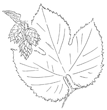 Common Hop Drawing