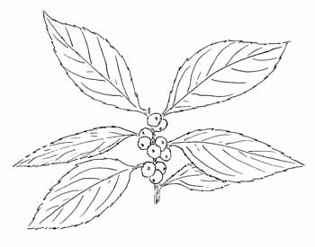 Winterberry Holly Drawing