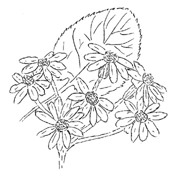 Golden Ragwort Drawing