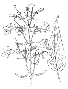 Tall White Beardtongue Drawing