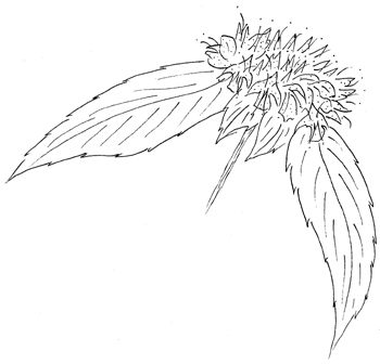 Hoary Mountainmint Drawing
