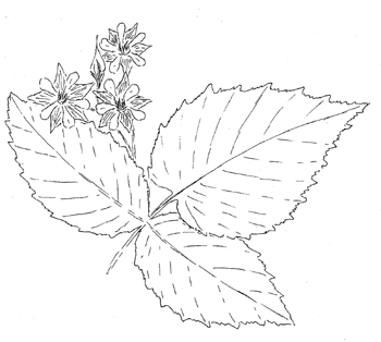 Black Cap Raspberry Drawing
