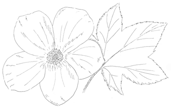 Purple Flowering Raspberry Drawing