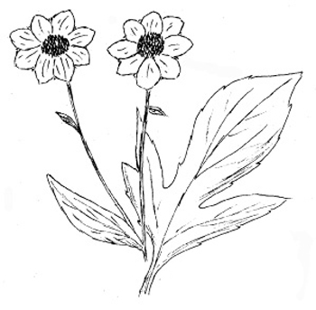 Thin-leaved Coneflower Drawing