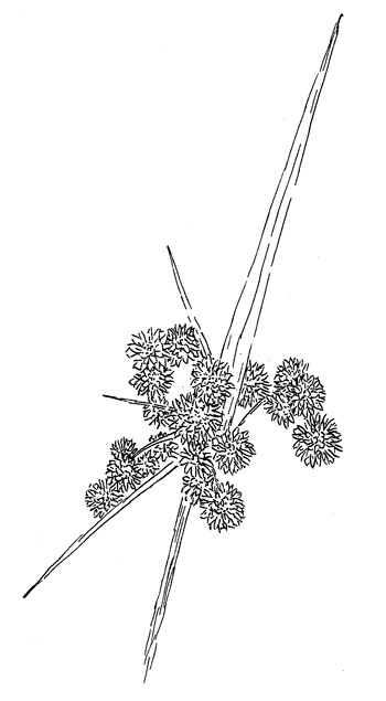 Georgia Bulrush Drawing