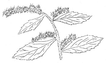 Elmleaf Goldenrod Drawing