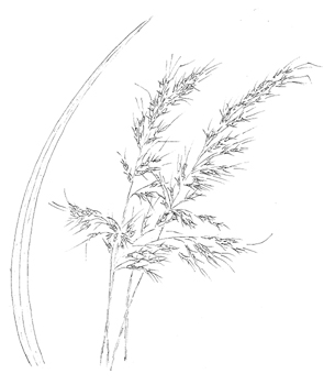 Indiangrass Drawing