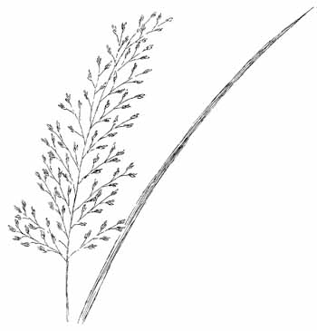 Northern Dropseed Drawing