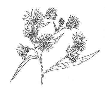 White Panicled Aster Drawing