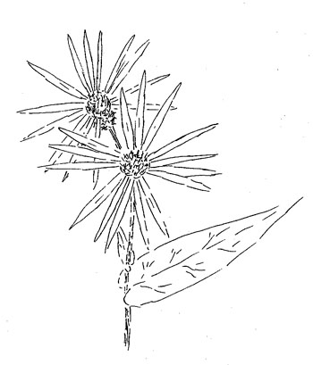Crooked Stem Aster Drawing