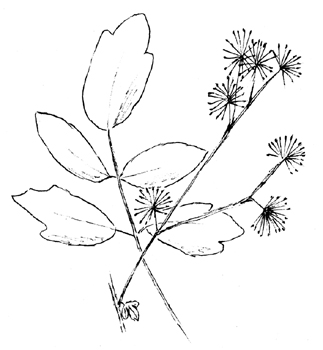 Tall Meadow Rue Drawing