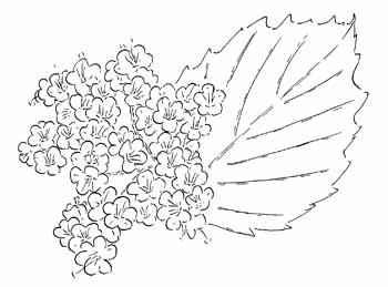 Southern Arrow-wood Viburnum Drawing