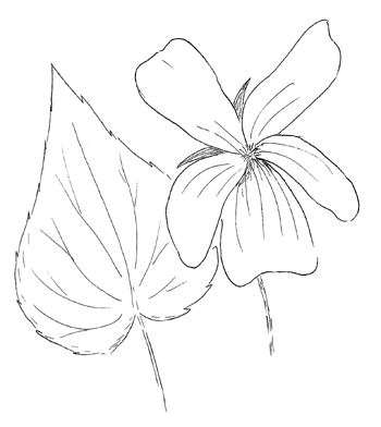 Downy Yellow Violet Drawing