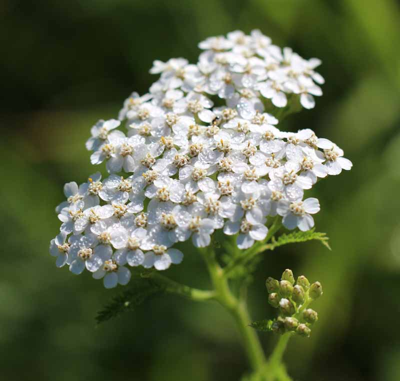 Common Yarrow Picture