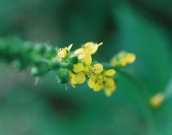 Woodland Agrimony Picture