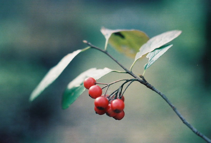 Red Chokeberry Picture