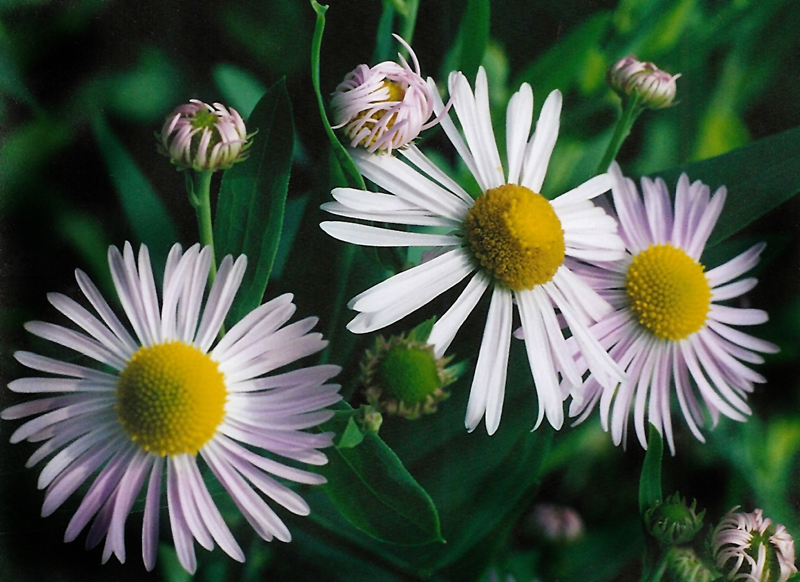 Winged False Aster  Picture
