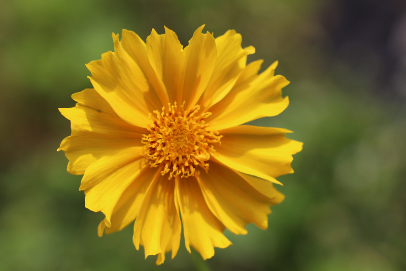 Lance-leaved Coreopsis Picture