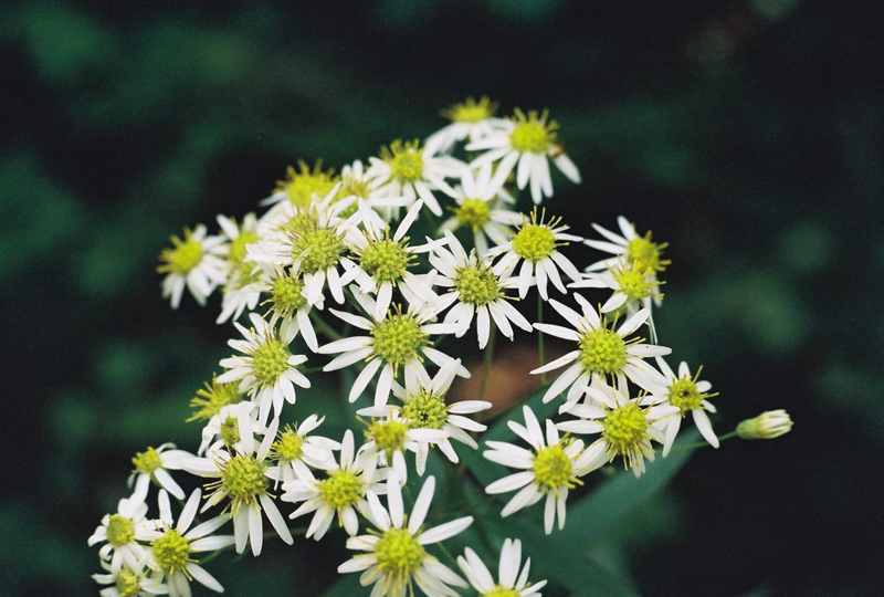 Flat-topped White Aster Picture
