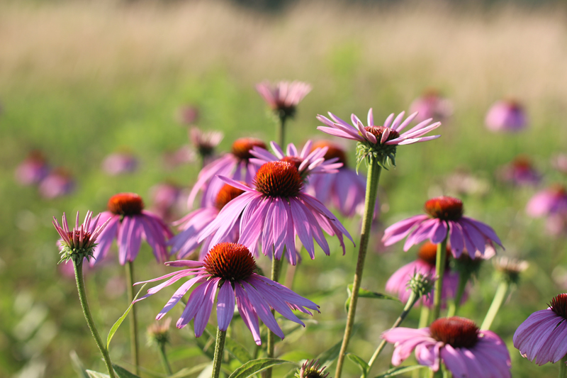 Eastern Purple Coneflower Picture