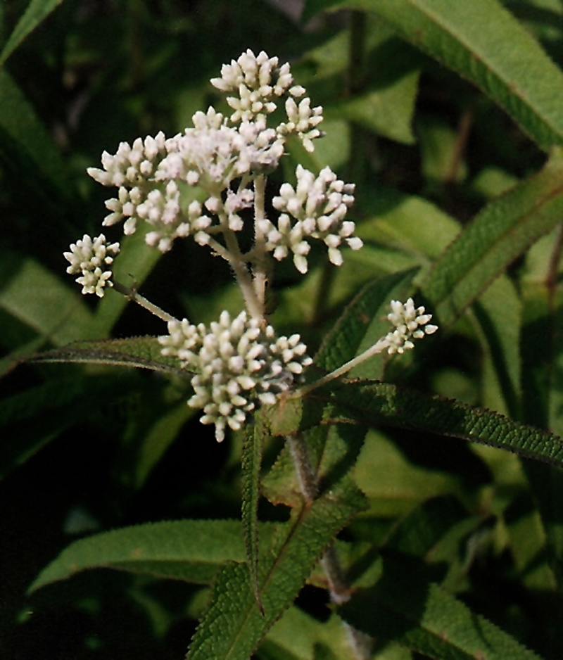 Common Boneset Picture