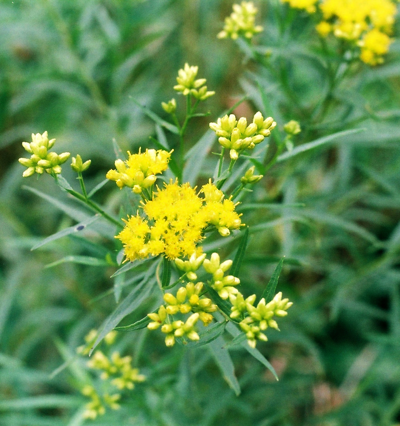 Lance-leaved Goldenrod Picture