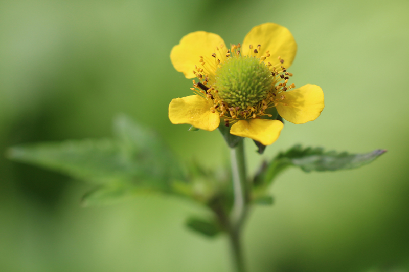 Yellow Avens Picture