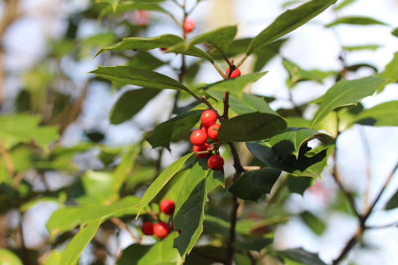 American Holly Picture