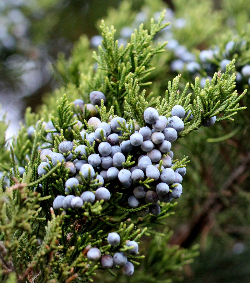 Eastern Redcedar Picture