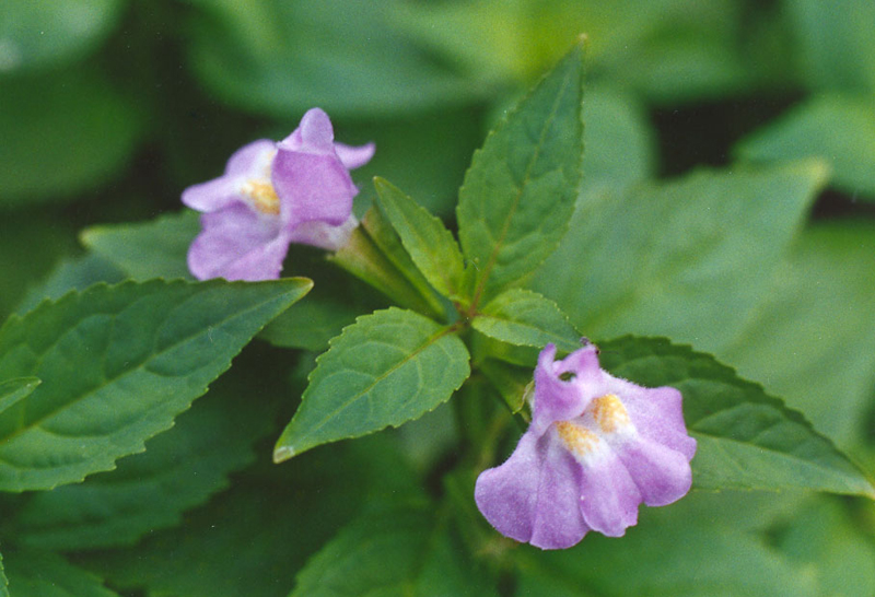 Sharpwing Monkey Flower Picture