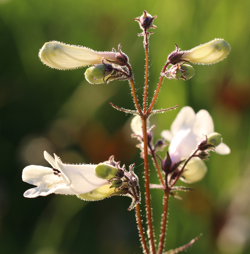 Tall White Beardtongue Picture