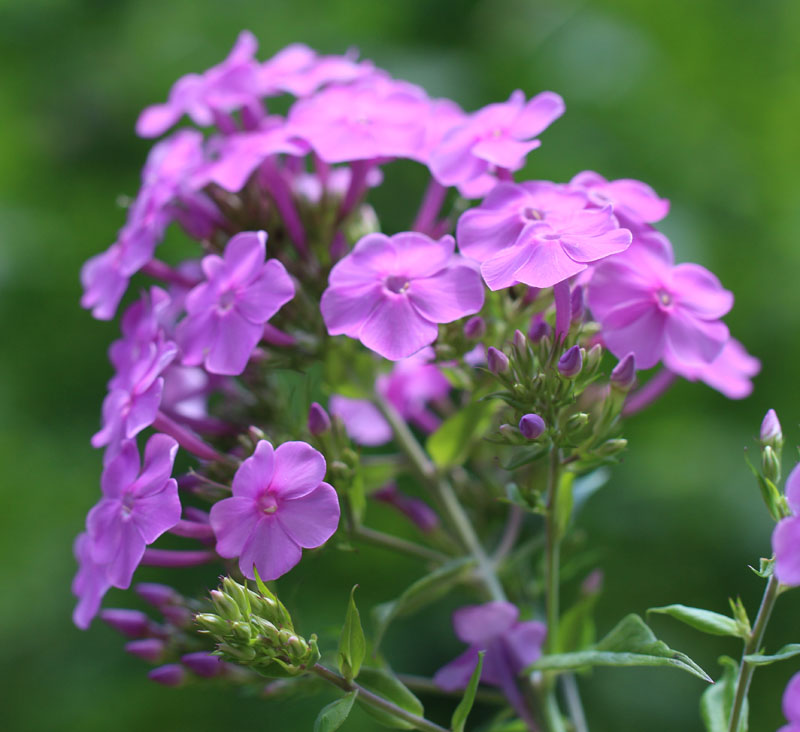 Pink Summer Phlox Picture