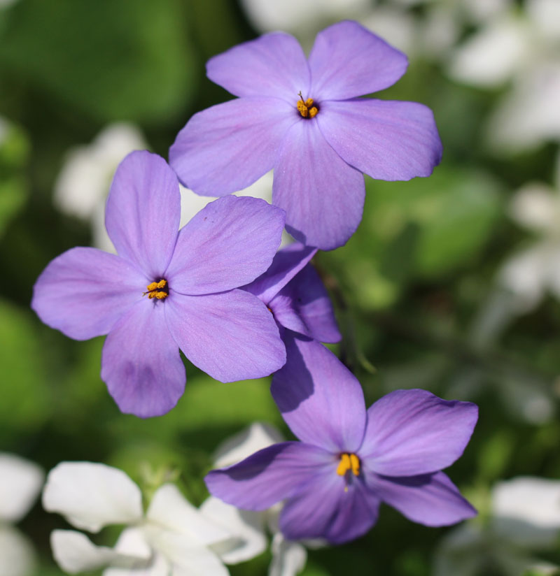 Creeping Phlox Picture