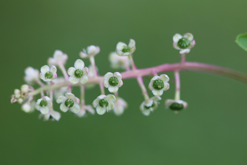 American Pokeweed Picture