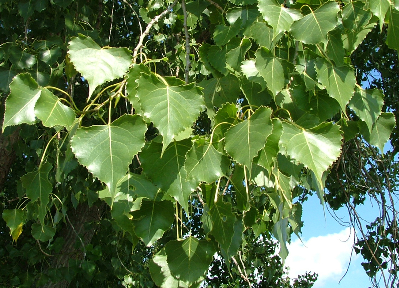 Eastern Cottonwood Picture