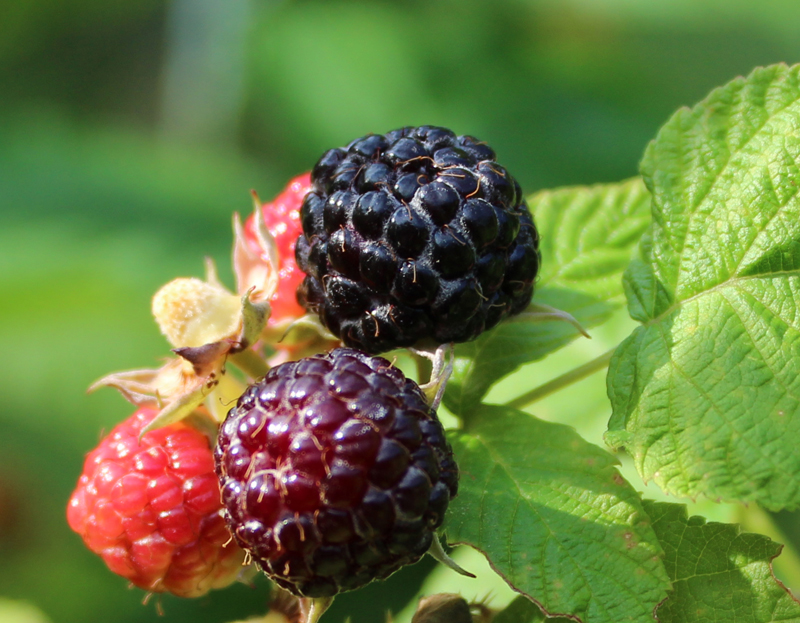 Black Cap Raspberry Picture
