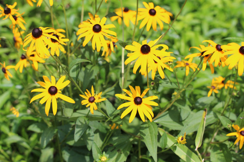 Brown-eyed Susan Picture