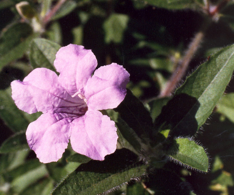 Wild Hairy Petunia Picture