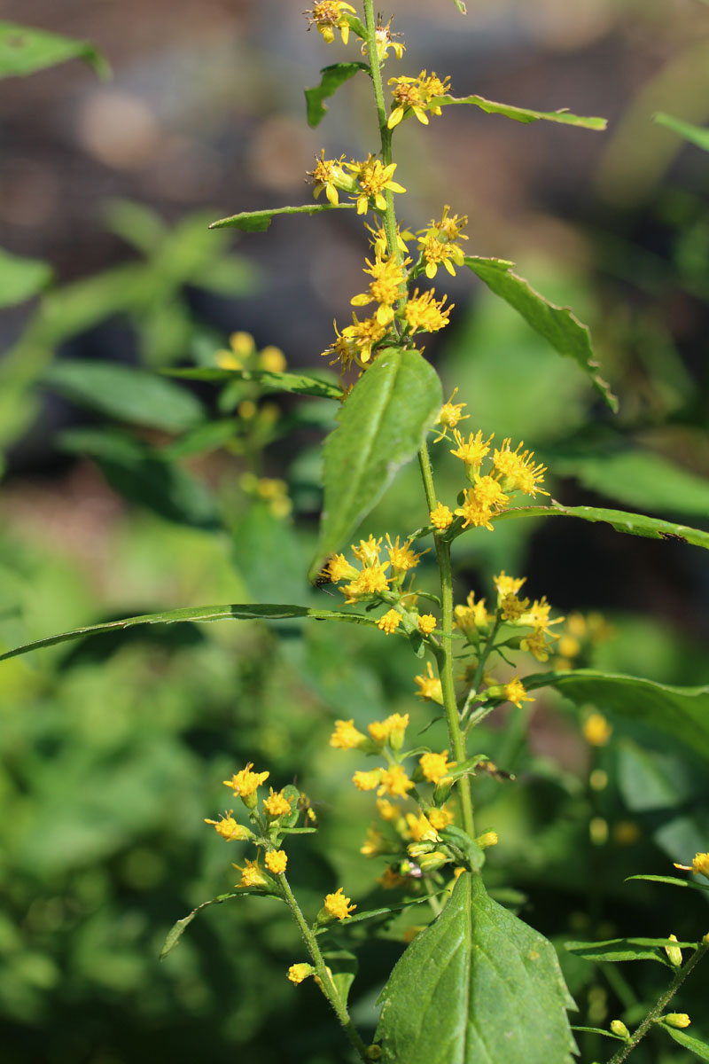 Zig-zag Goldenrod Picture